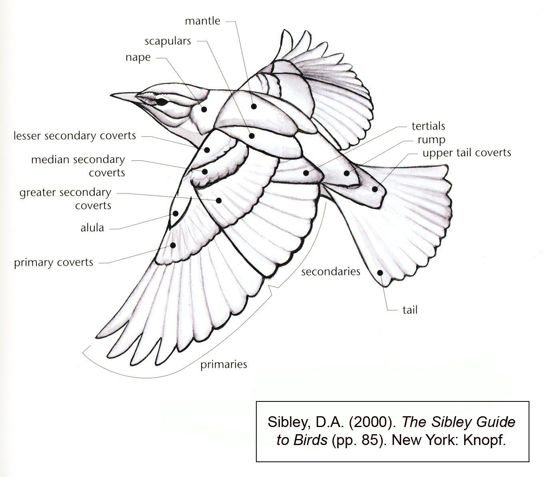 Feather Umbilicu Diagram