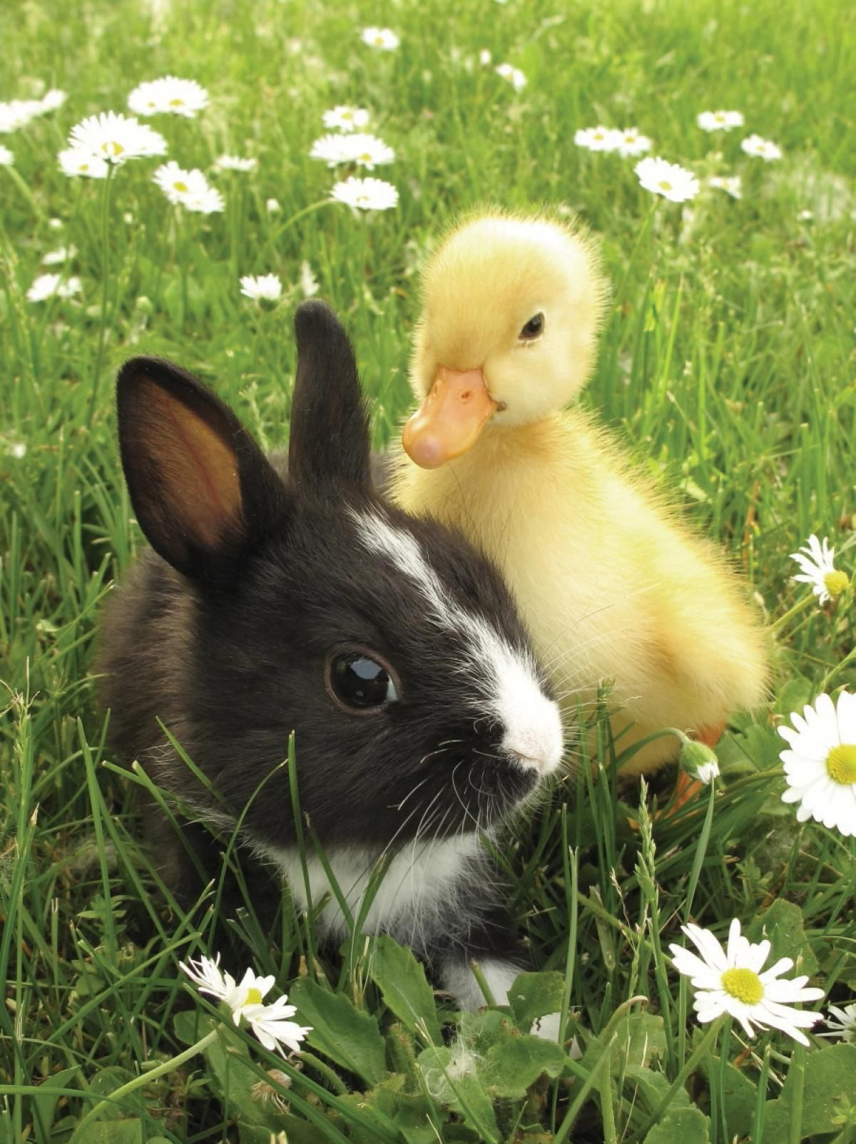 Best 25 Rabbit Duck Ideas