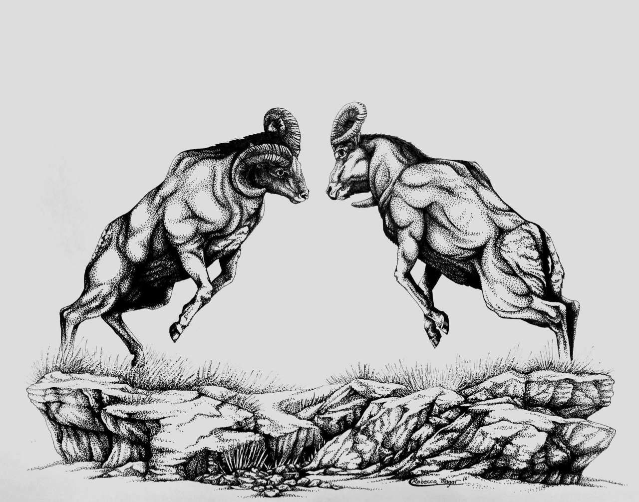 Drawing Of Two Bighorn Sheep Rams Fighting By Rebecca