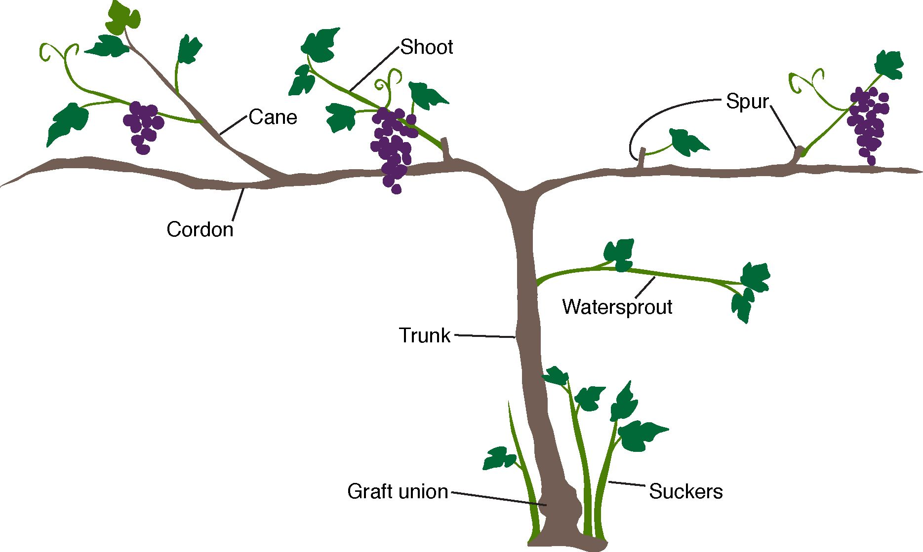 Graphic Showing Anatomy Of A Gvine