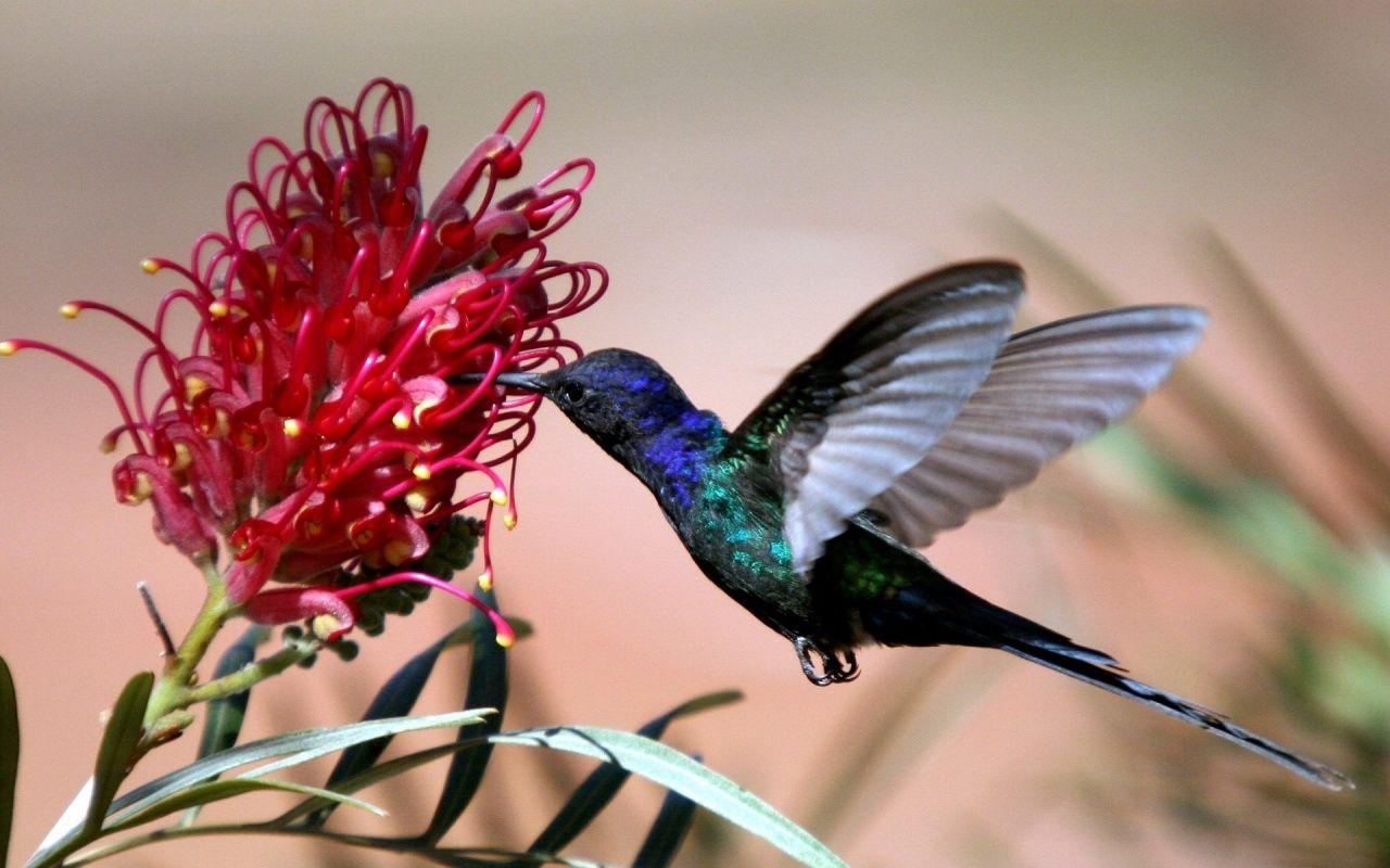 hummingbird and flower hd wallpaper free http://www.gethdwallpaper