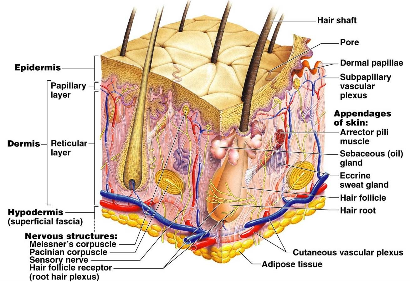 The Cells Of The Dermis Become The Epidermis
