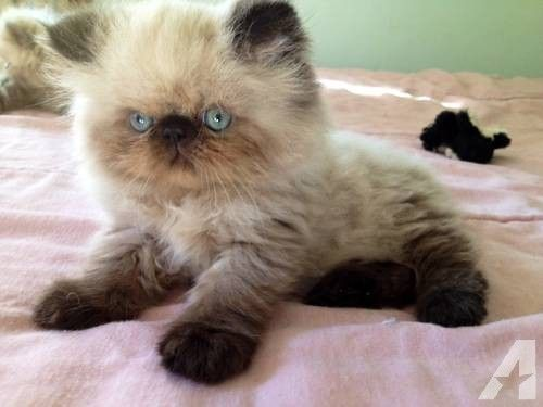 Beautiful Best 25 White Persian Cats Ideas Only On Pinterest Cute