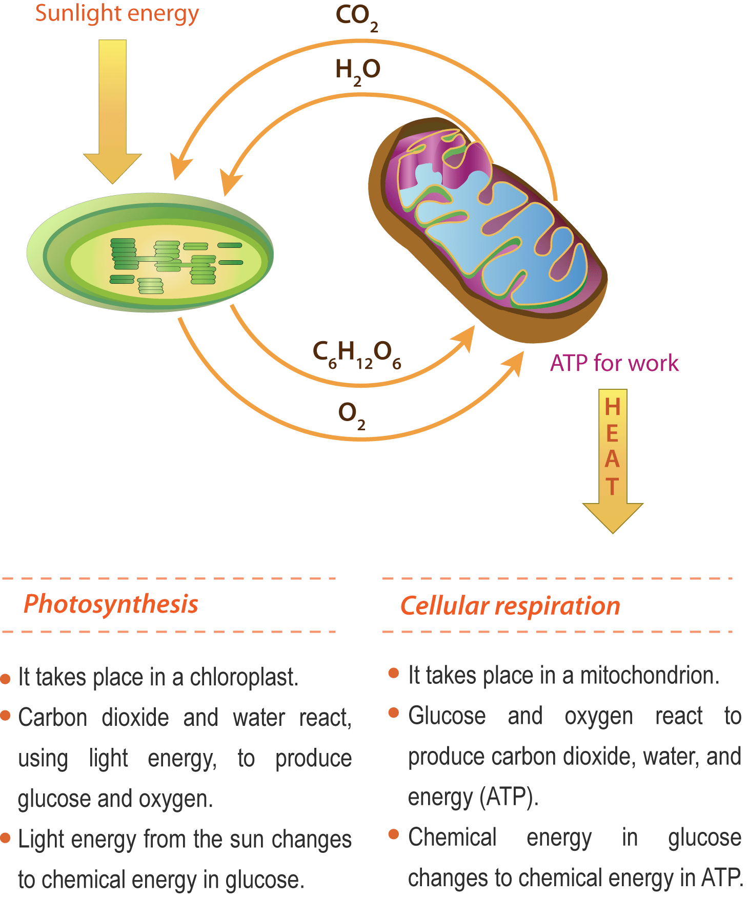 Bio 04 03 Overview Of Photosynthesis