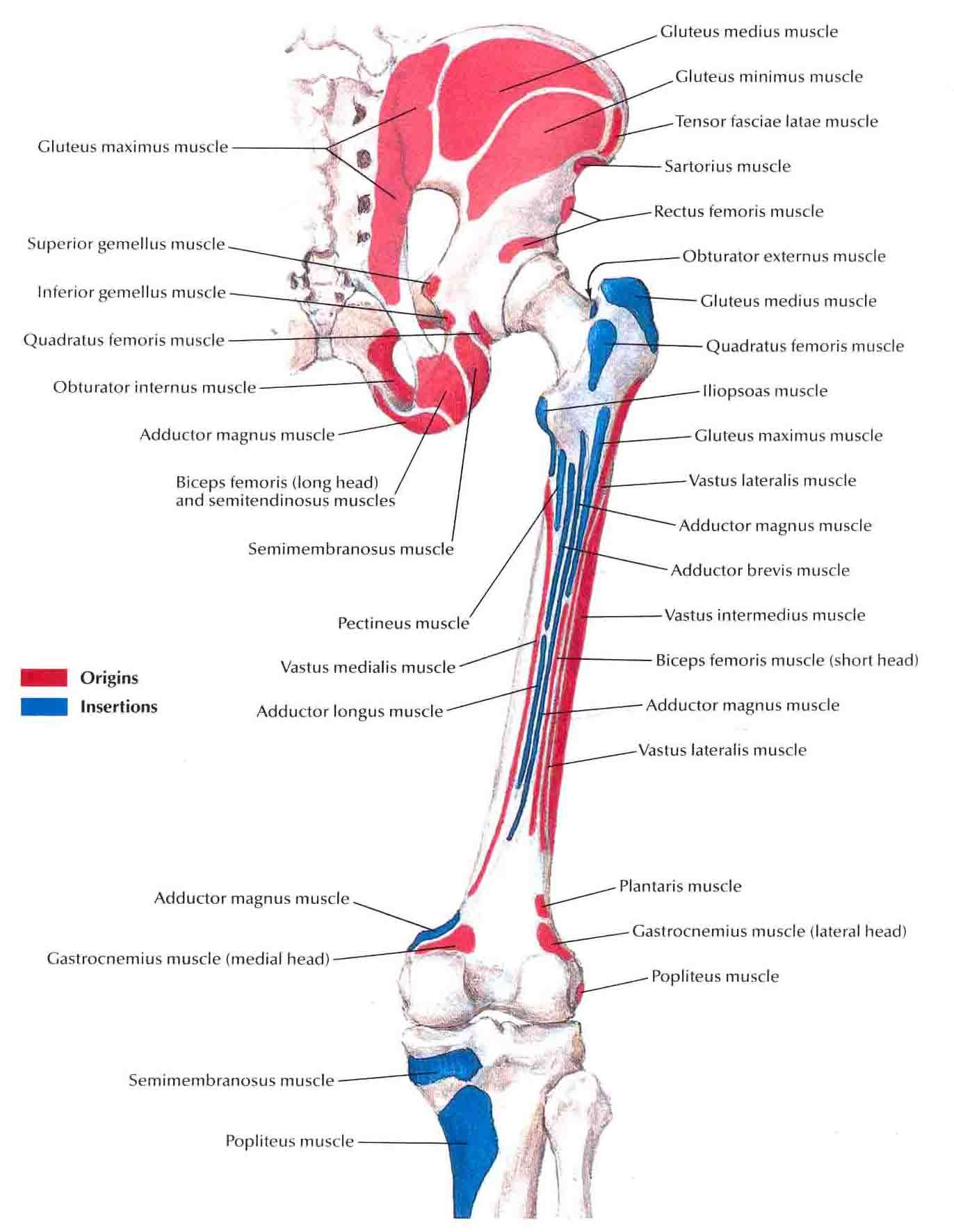 Bony Attachments Of Muscles Of Hip And Thigh Posterior View