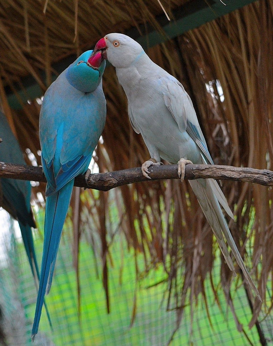blue and grey mutations of the rose-ringed parakeet. | rose-ringed