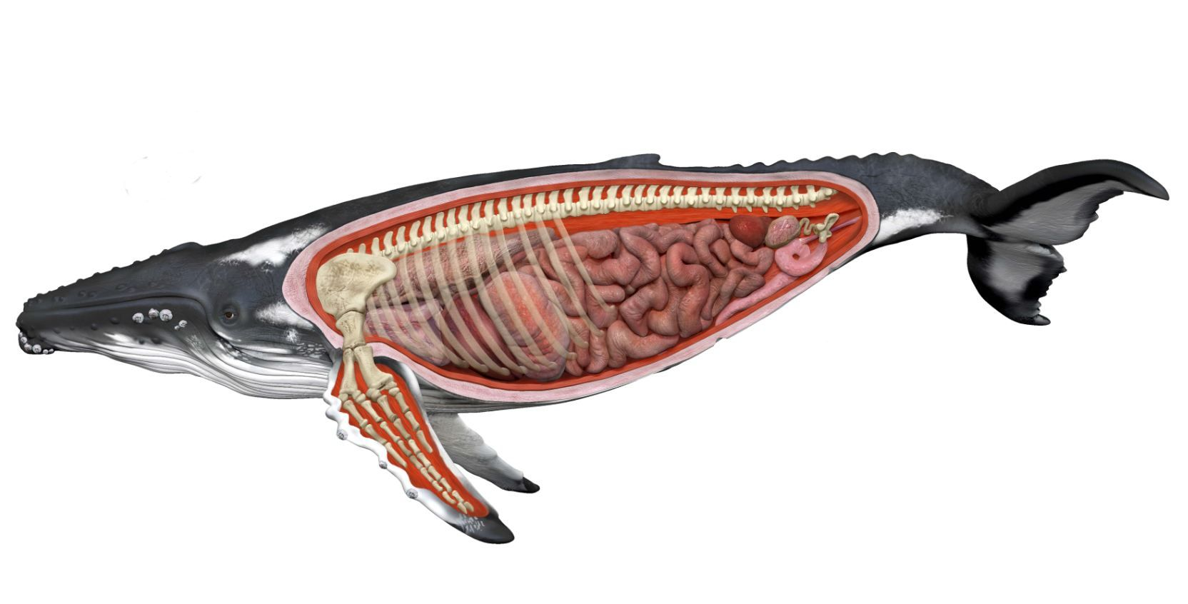 Humpback Whale Anatomy Diagram