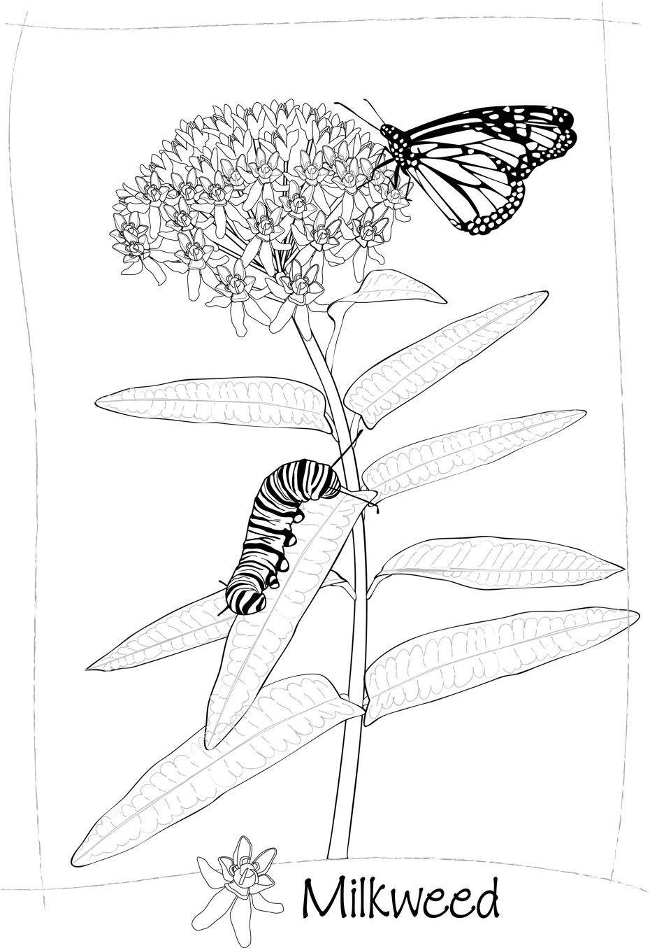 Milkweed art linda cook plant art 2013 meadow coloring book