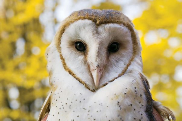 Animals You Should Not Have As Pets - Owls