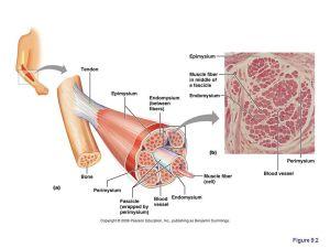 perimysium  Google Search | {anatomy} | Pinterest