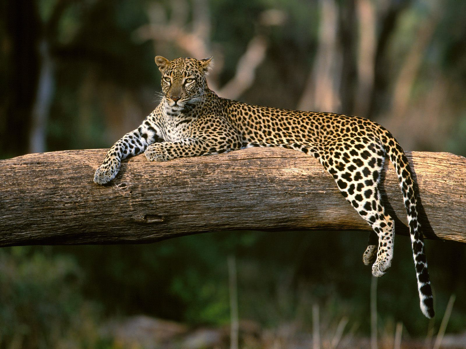 south africa's naturally occurring leopard population is under