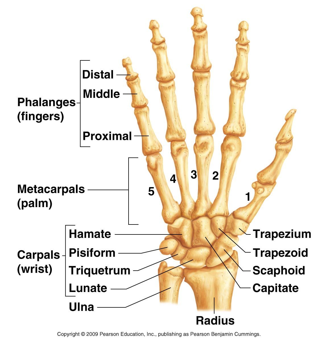 Hand And Wrist Bone Structures