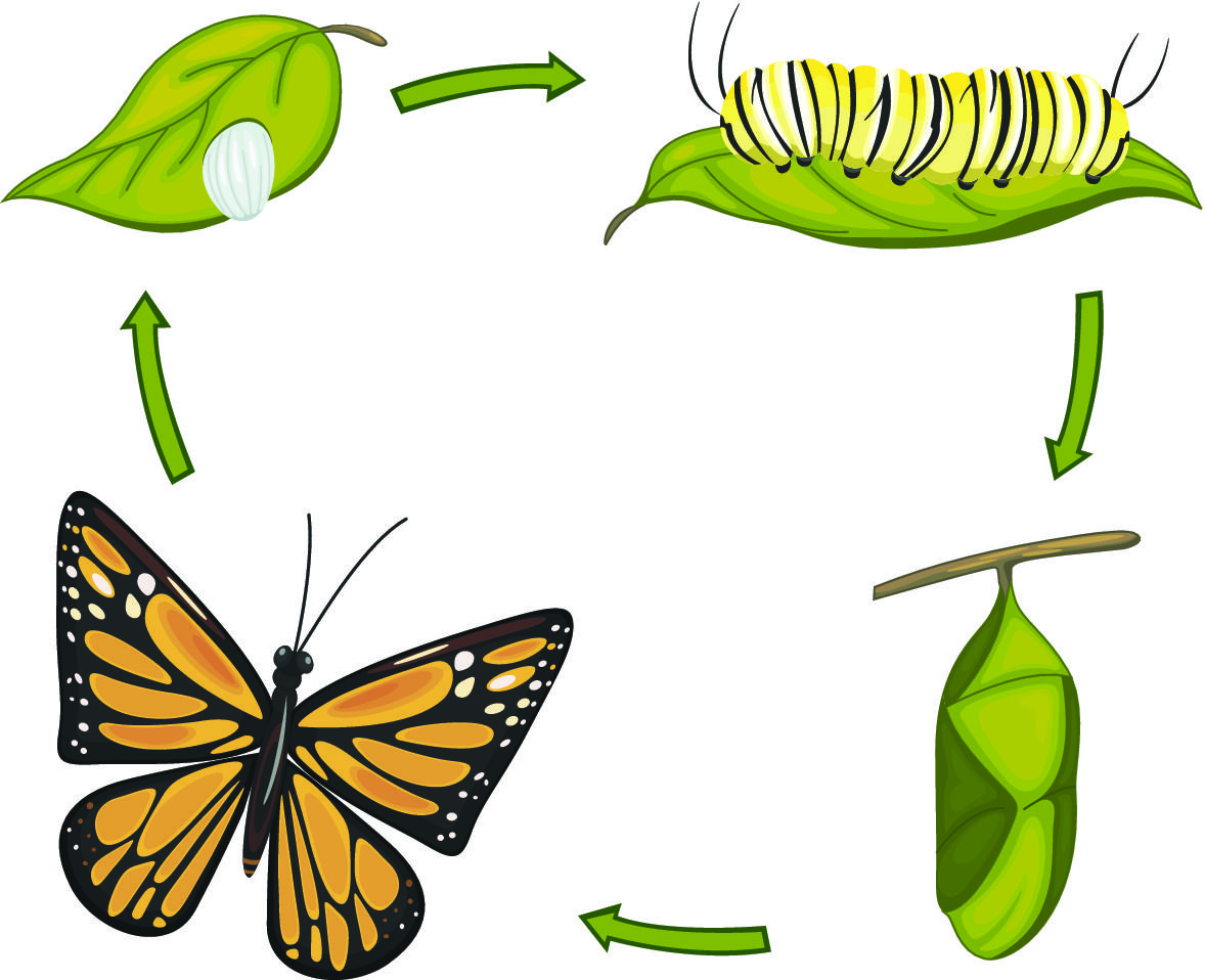 Life Cycle Of A Butterfly