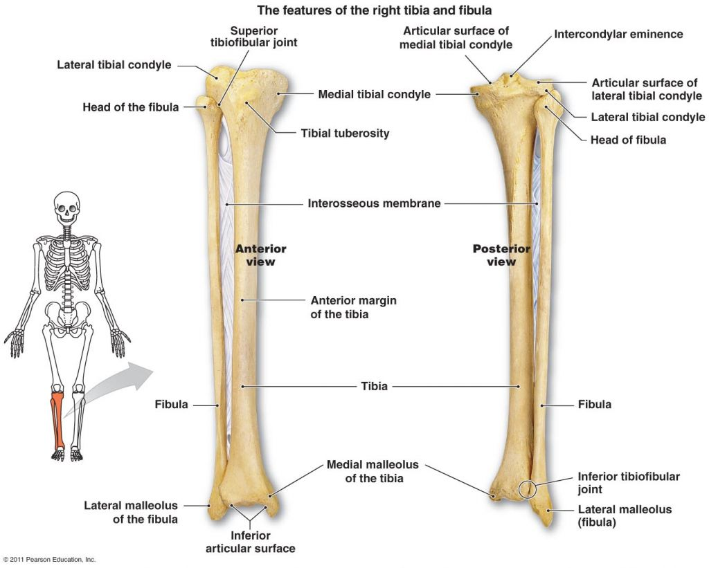 Tibia Fibula Anatomy Tibia And Fibula Diagram