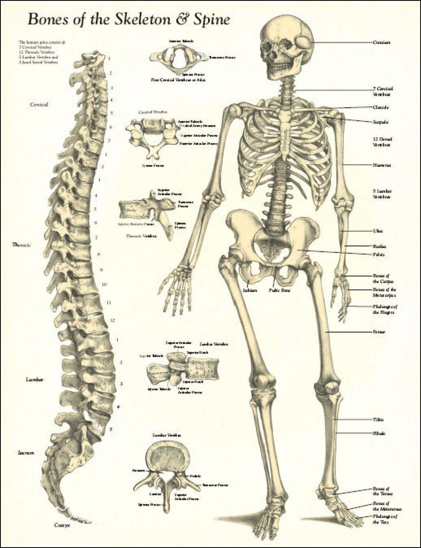 Risultati Immagini Per Human Bones Shoulder
