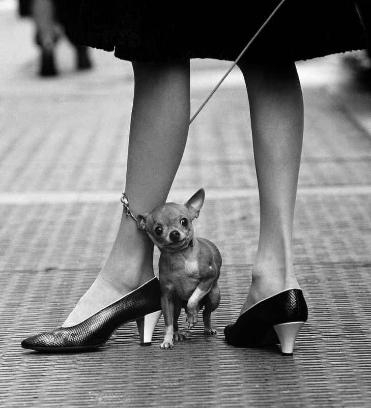 Yale Joel A pet chihuahuaus leash is wrapped around its fashionable