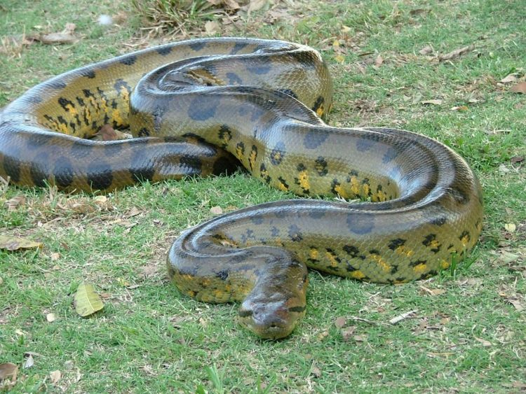 Bilderesultat for green anaconda