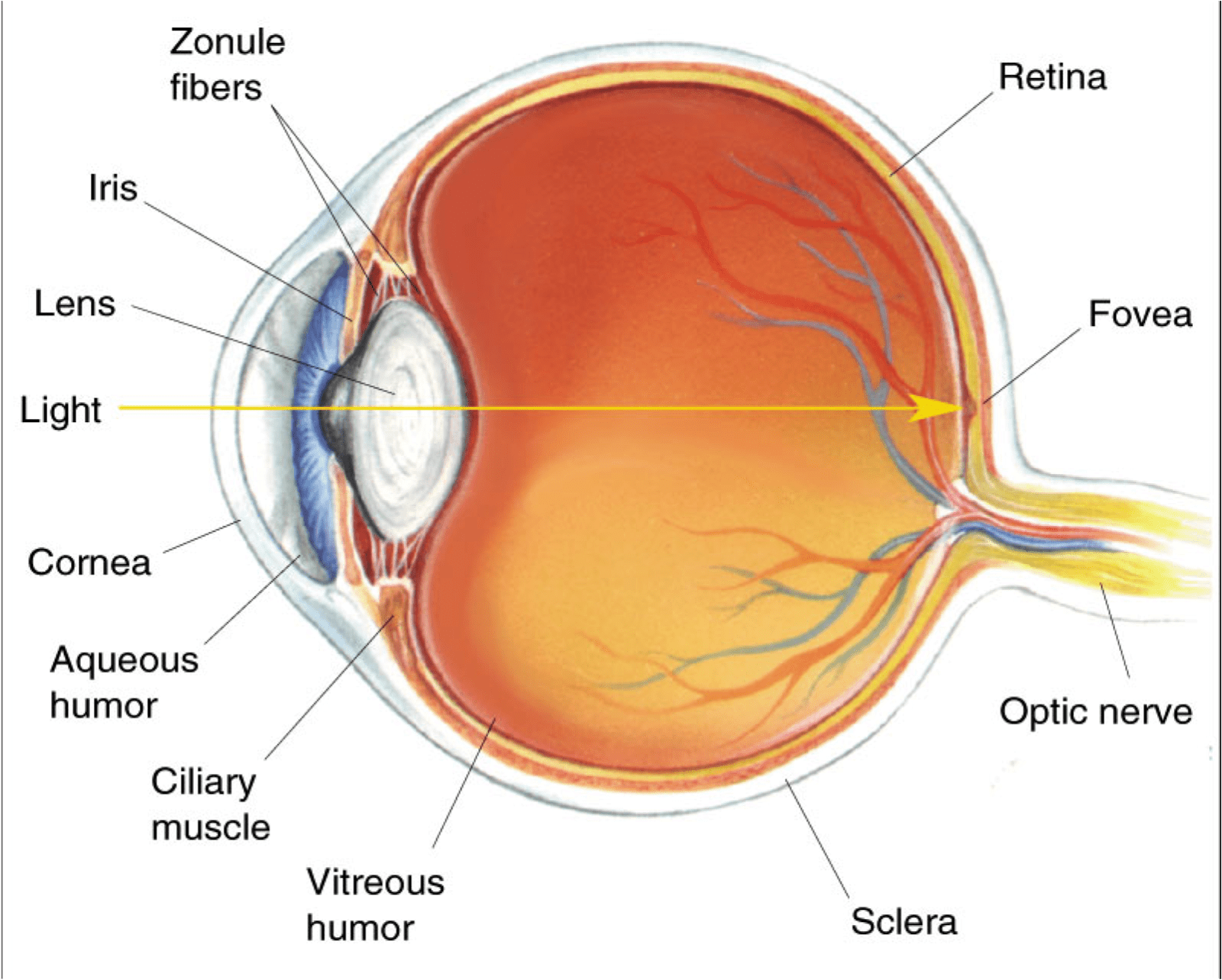 Eye Diagram Fovea