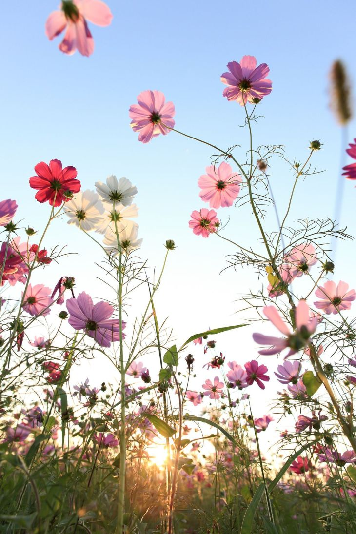 Cosmos flower with blue sky by Yen Hung Lin Flowers Pinterest