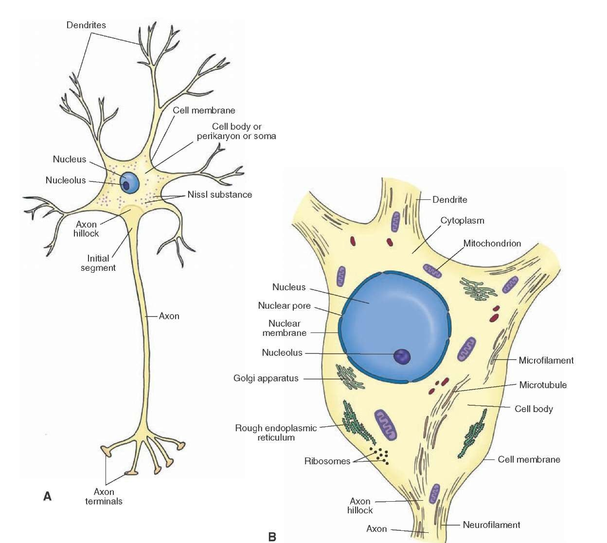 A Schematic Representation Of A Neuron A Note The