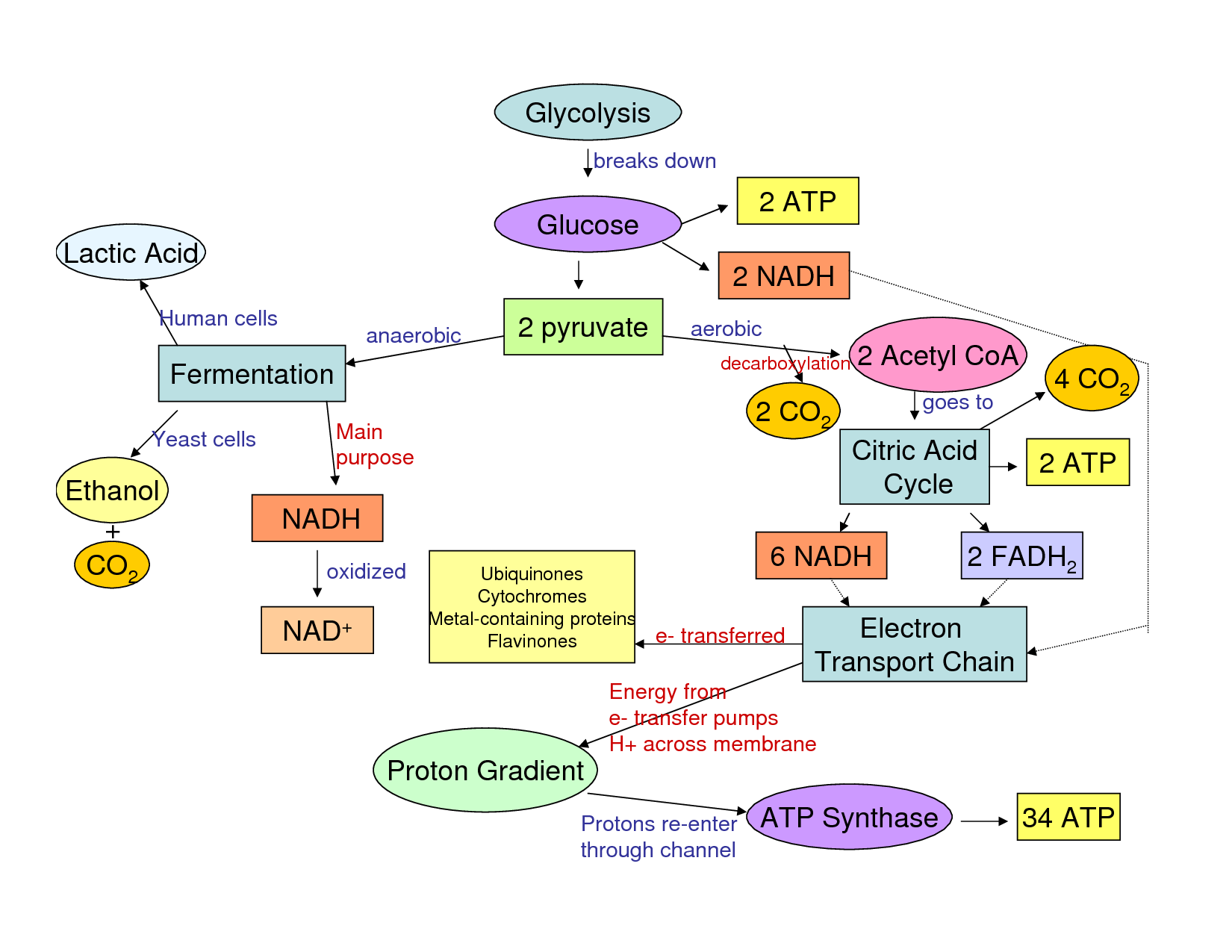 Cellular Respiration Glycolysis And Flow Chart