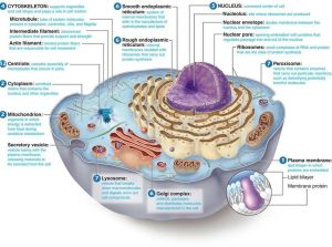 Animal Cell Labeled | other | Pinterest | Cell structure