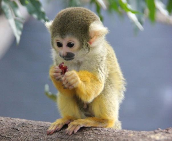 Animals You Should Not Have As Pets - Squirrel Monkeys