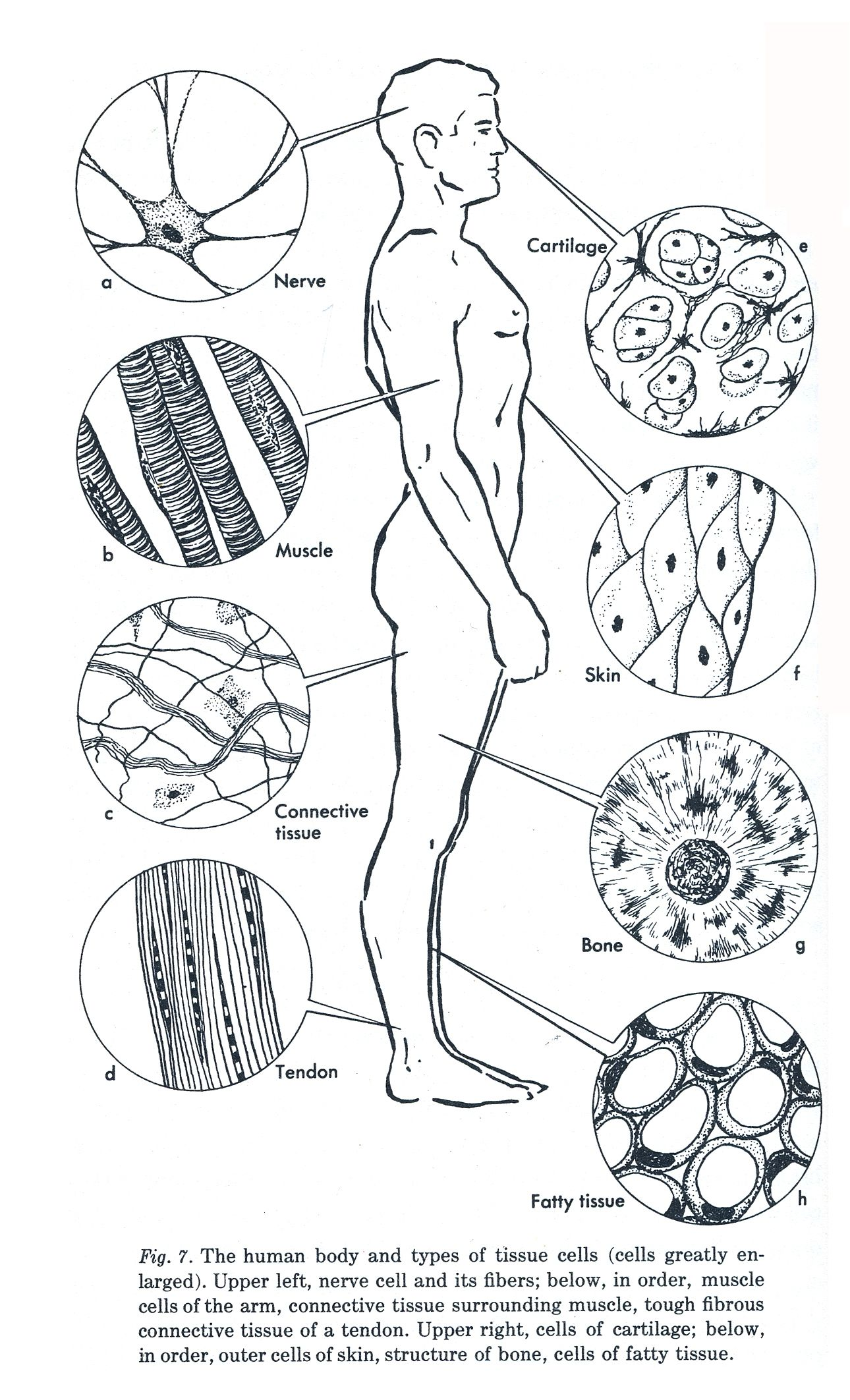 Human Cell Worksheet Coloring Pages