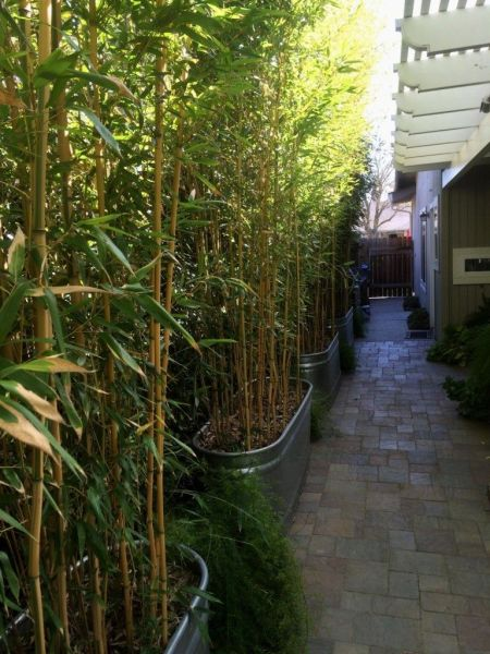 bamboo privacy garden Planted in 2013, this hedge of the yellow groove bamboo
