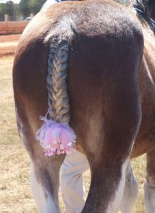 How To Plait A Clydesdale Horses Tail Practical Equine