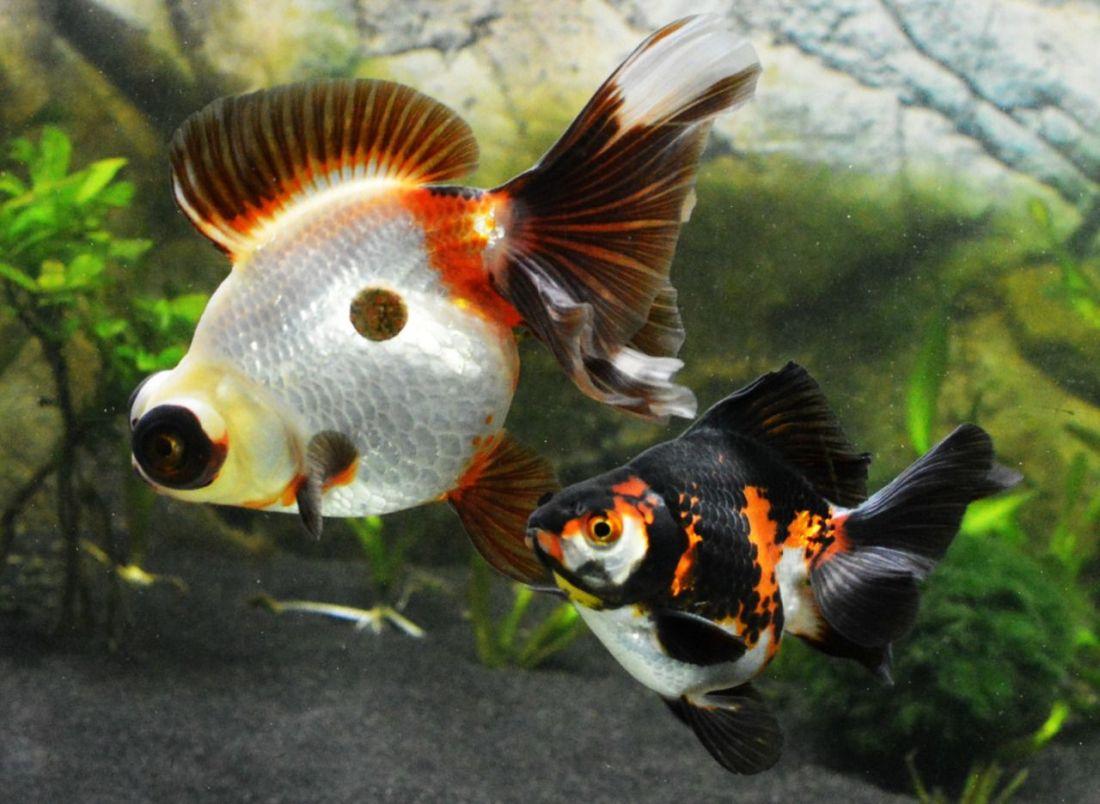 Demekin ryukin carassius pinterest goldfish fish