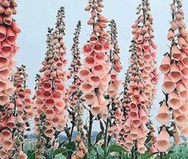 Foglove Apricot Beauty Flower Garden Seeds
