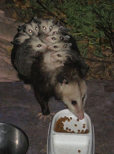 At Birth Newborn Opossums Are So Tiny That An Entire