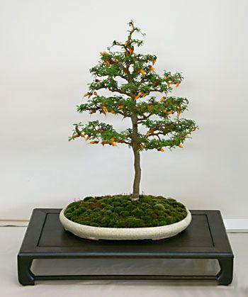 sophora prostrata bonsai bonsai pinterest bonsai on hole in the wall cap oriental id=43751