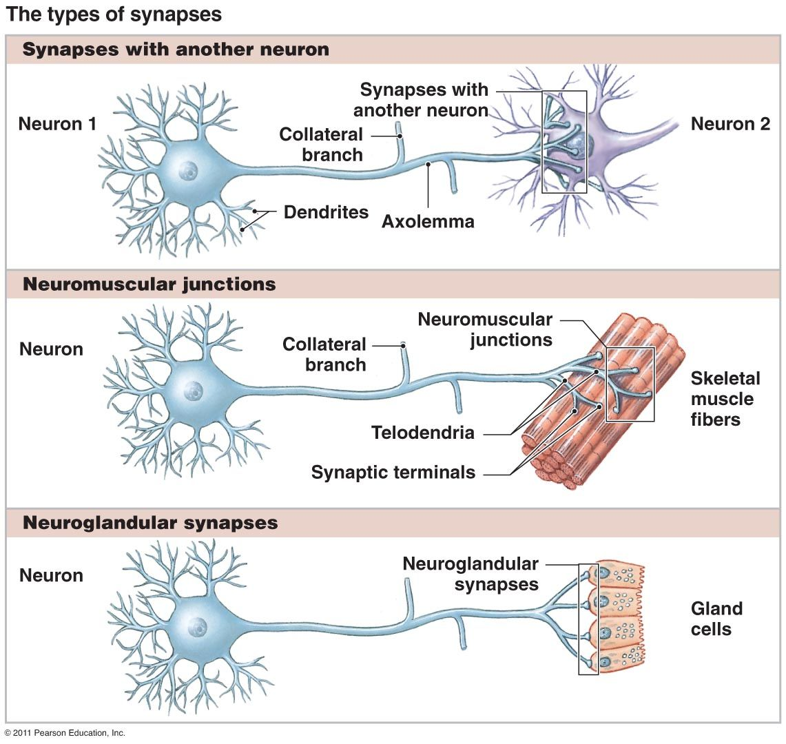 Types Of Synapses