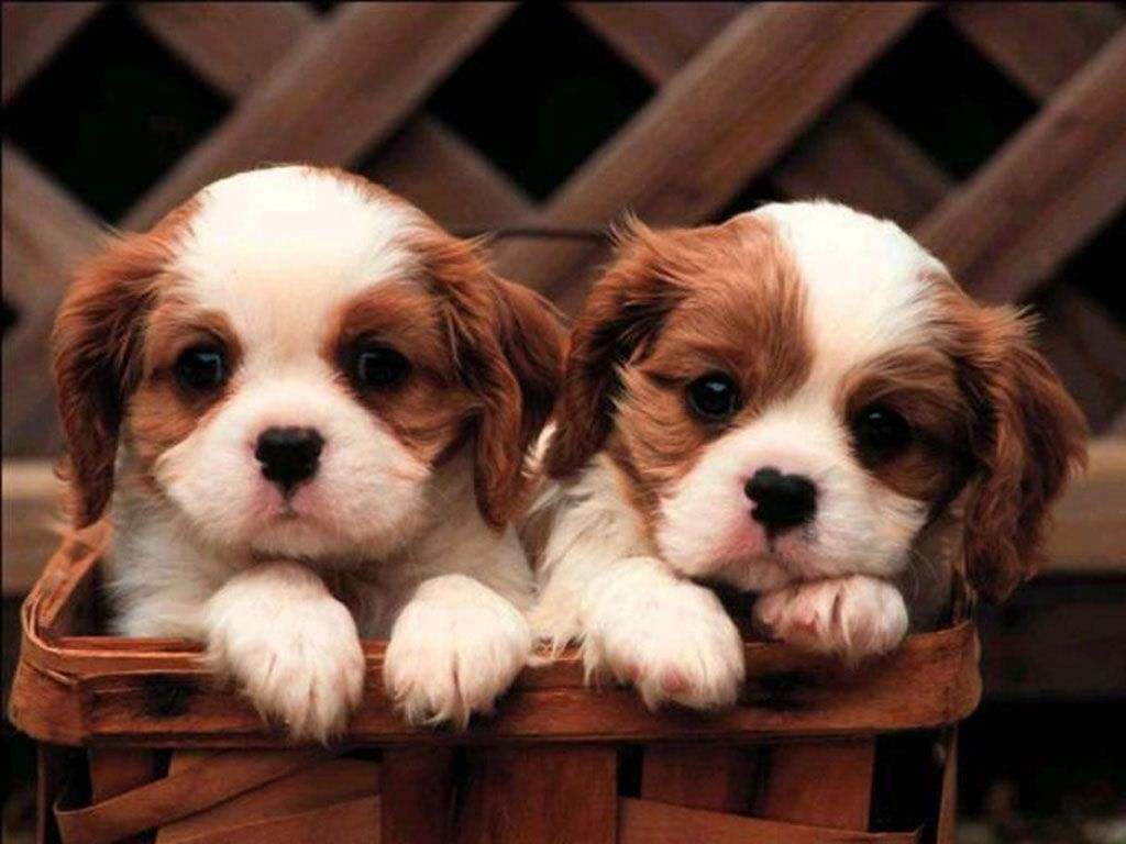 puppy wallpaper android apps on google play | hd wallpapers