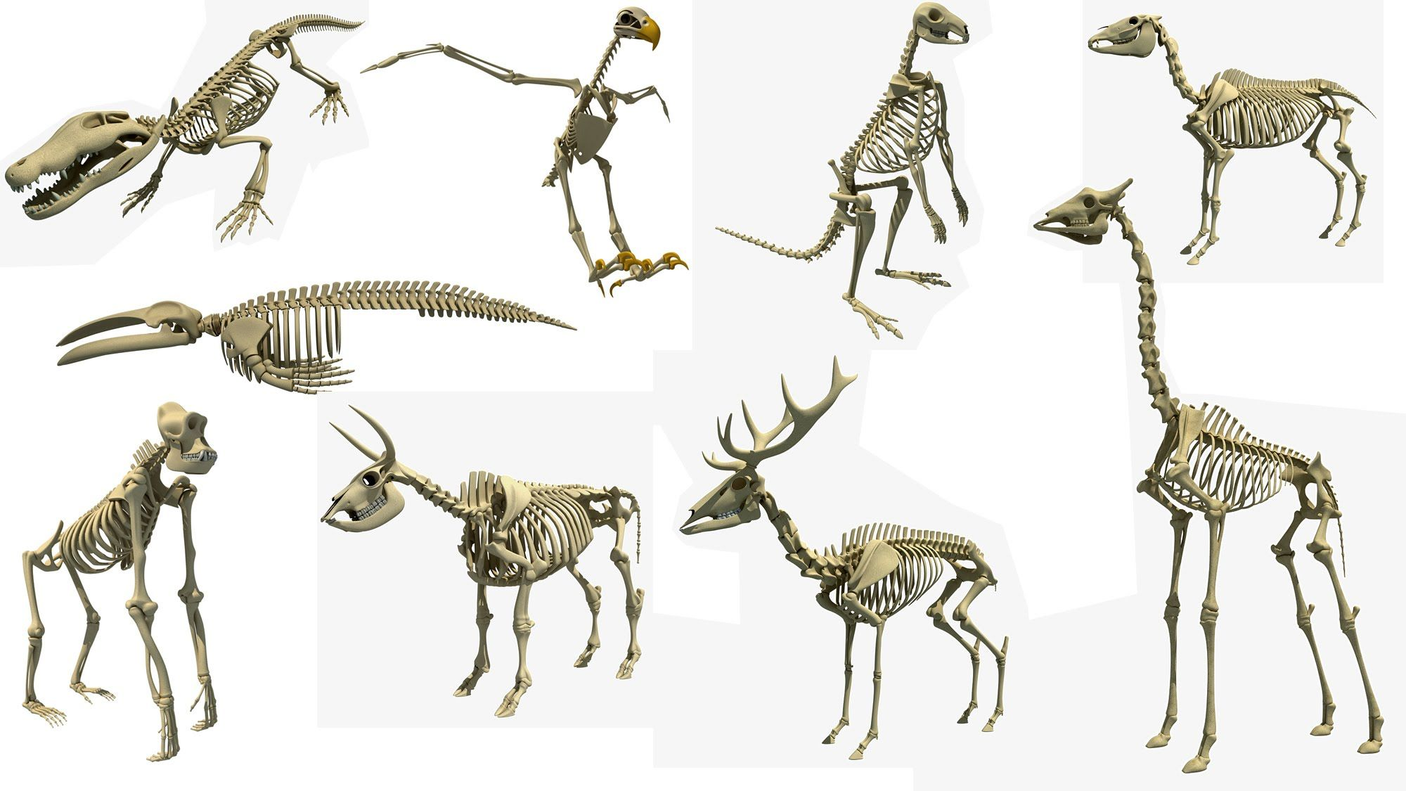 Animal Skeleton 3d Models
