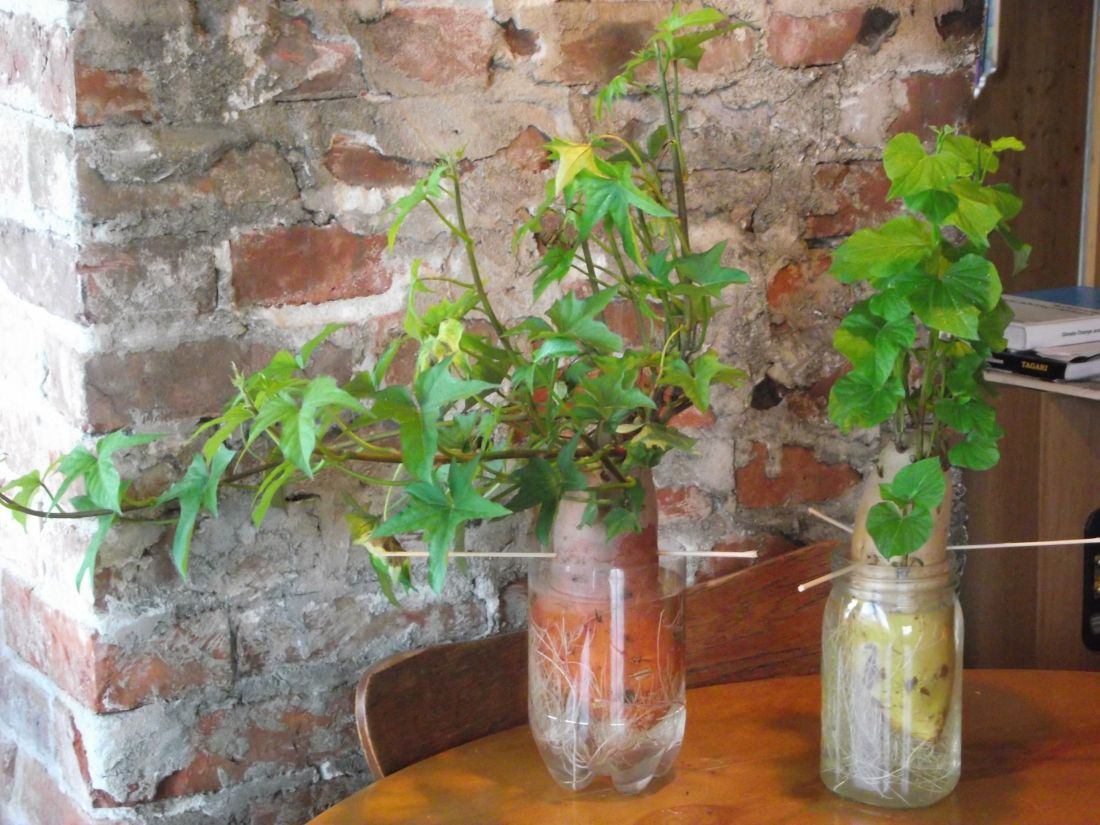 Growing sweet potato vines in a jar they will eventually