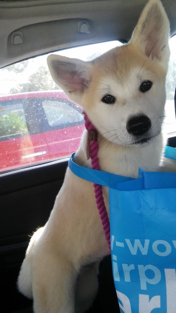 Her name is Ivy the Akita PetcoCouponBook Cute Cute Things aww