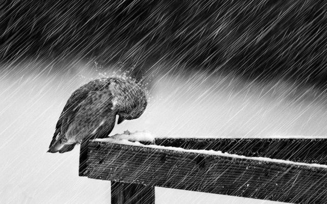 Image result for bird in the rain images