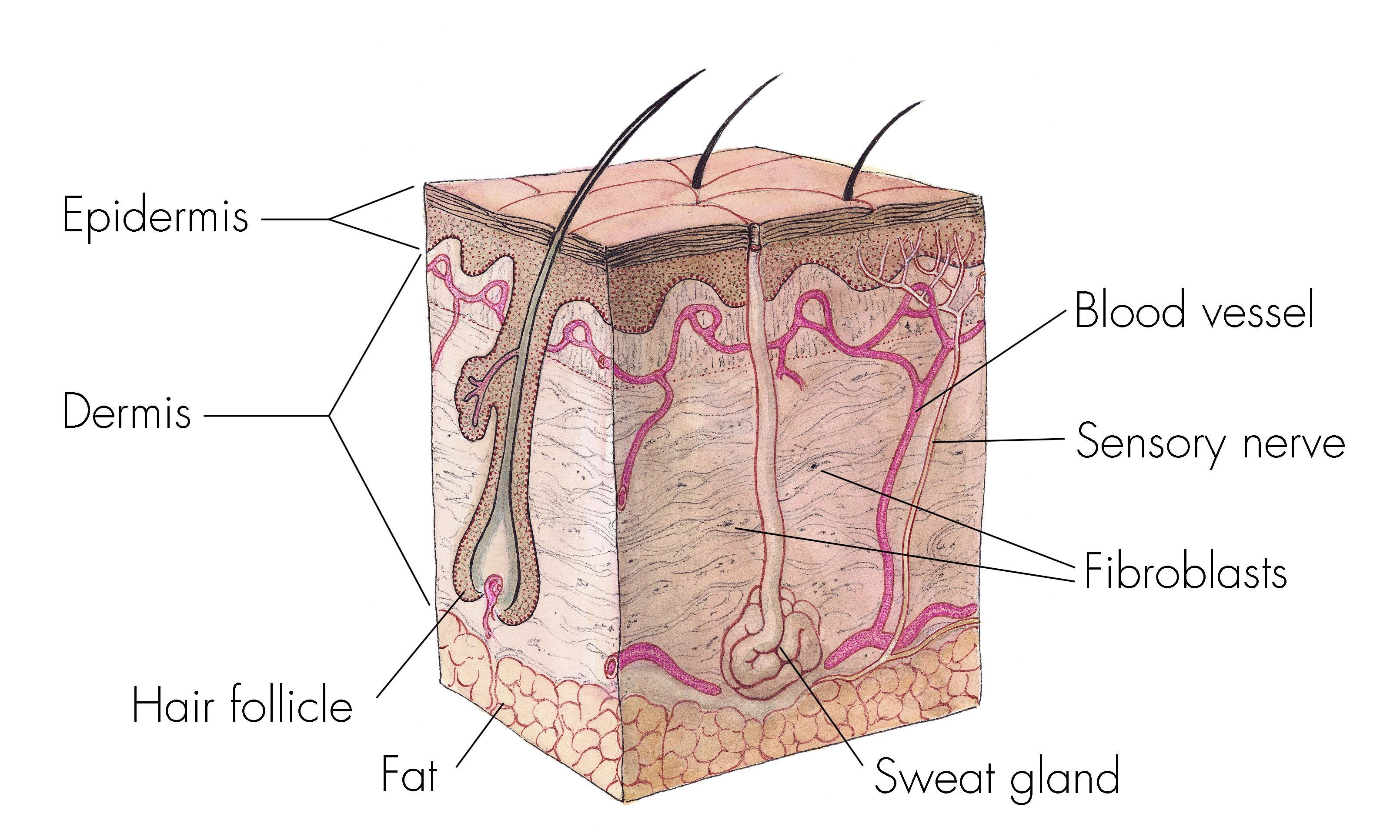 Cross Section Of Skin Anatomy Shows Layers And Different Tissue Types Credit National