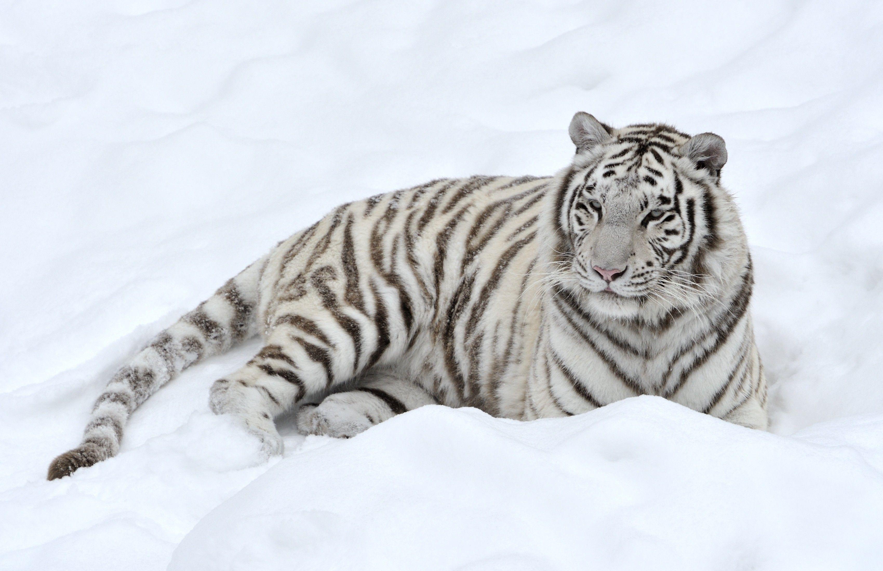 animal white tiger wallpaper | white tiger | pinterest | tiger
