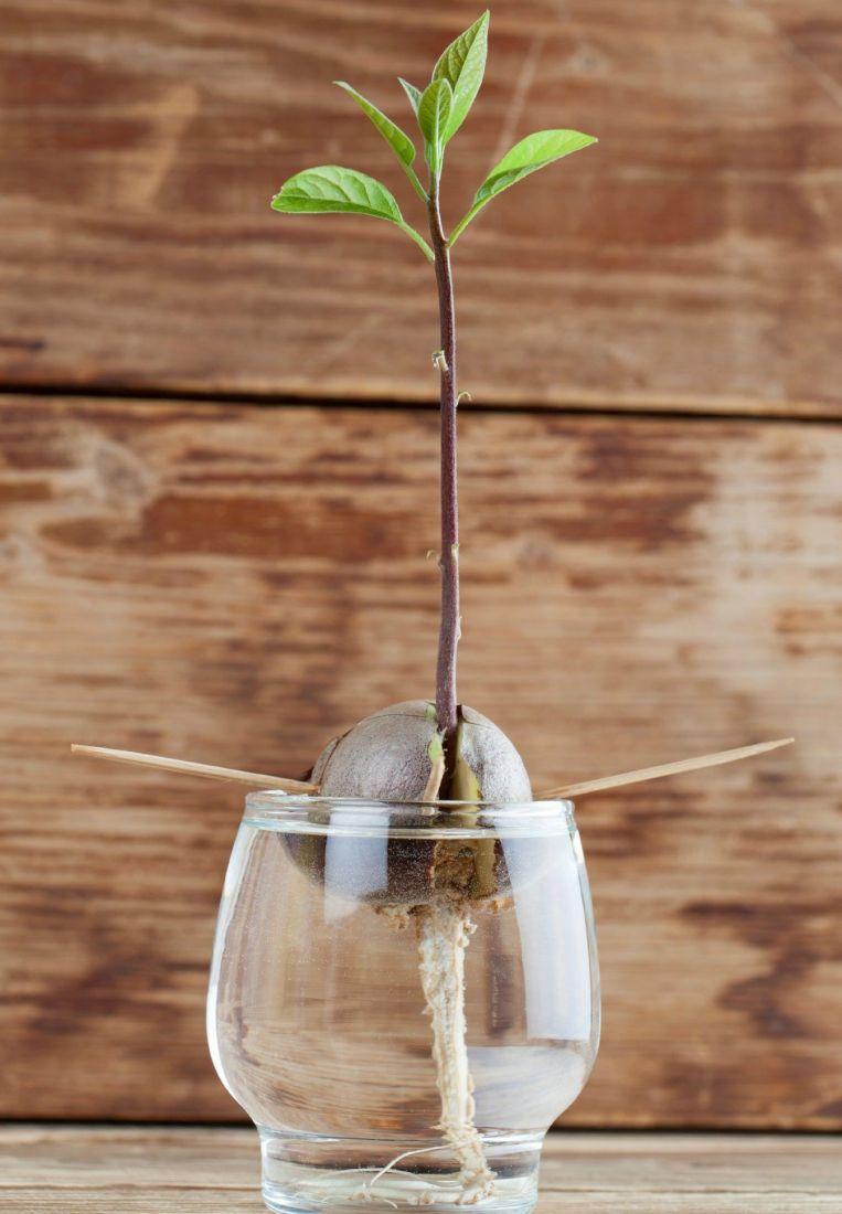 cómo germinar una semilla de aguacate