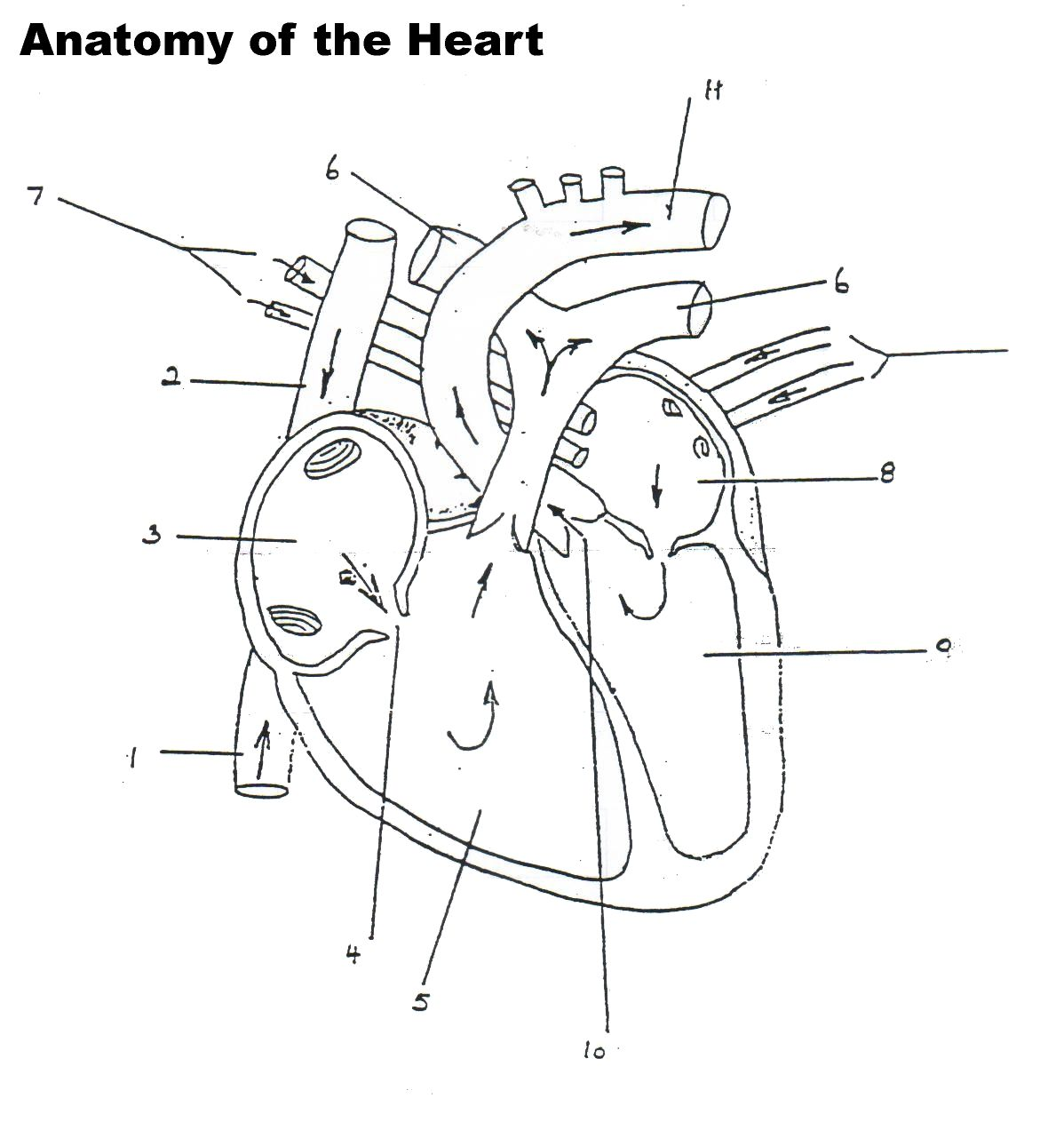 Human Heart Worksheet For Preschool