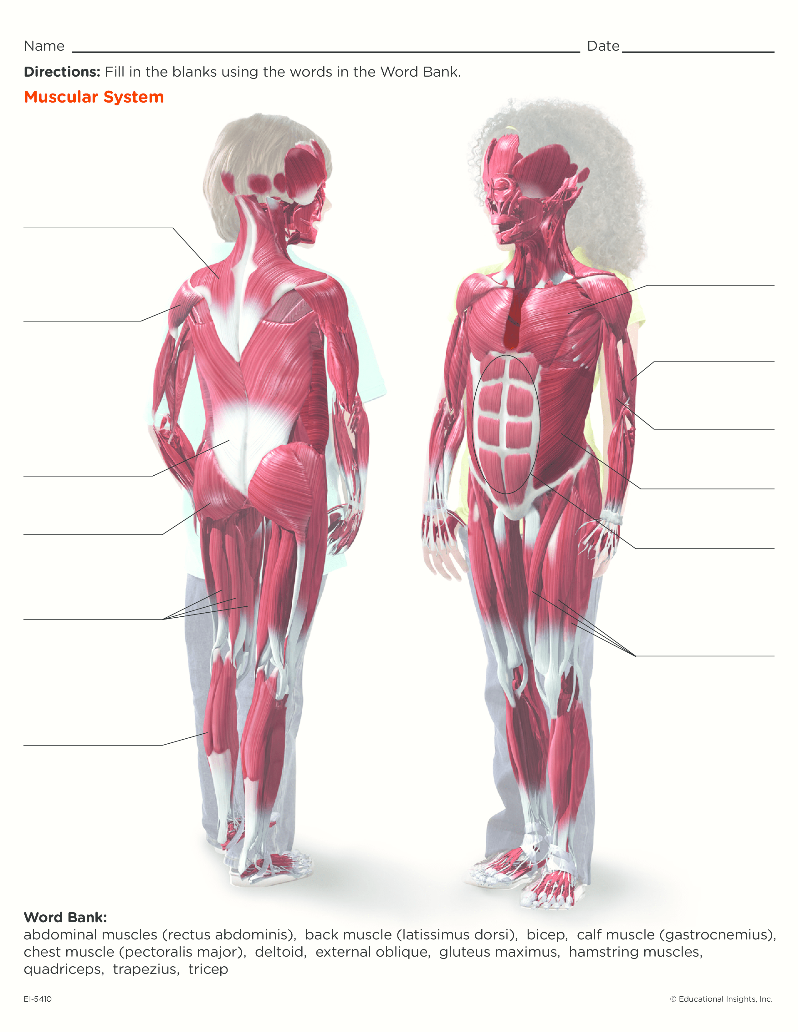 Cool Worksheet For Kids To Learn About The Muscular System
