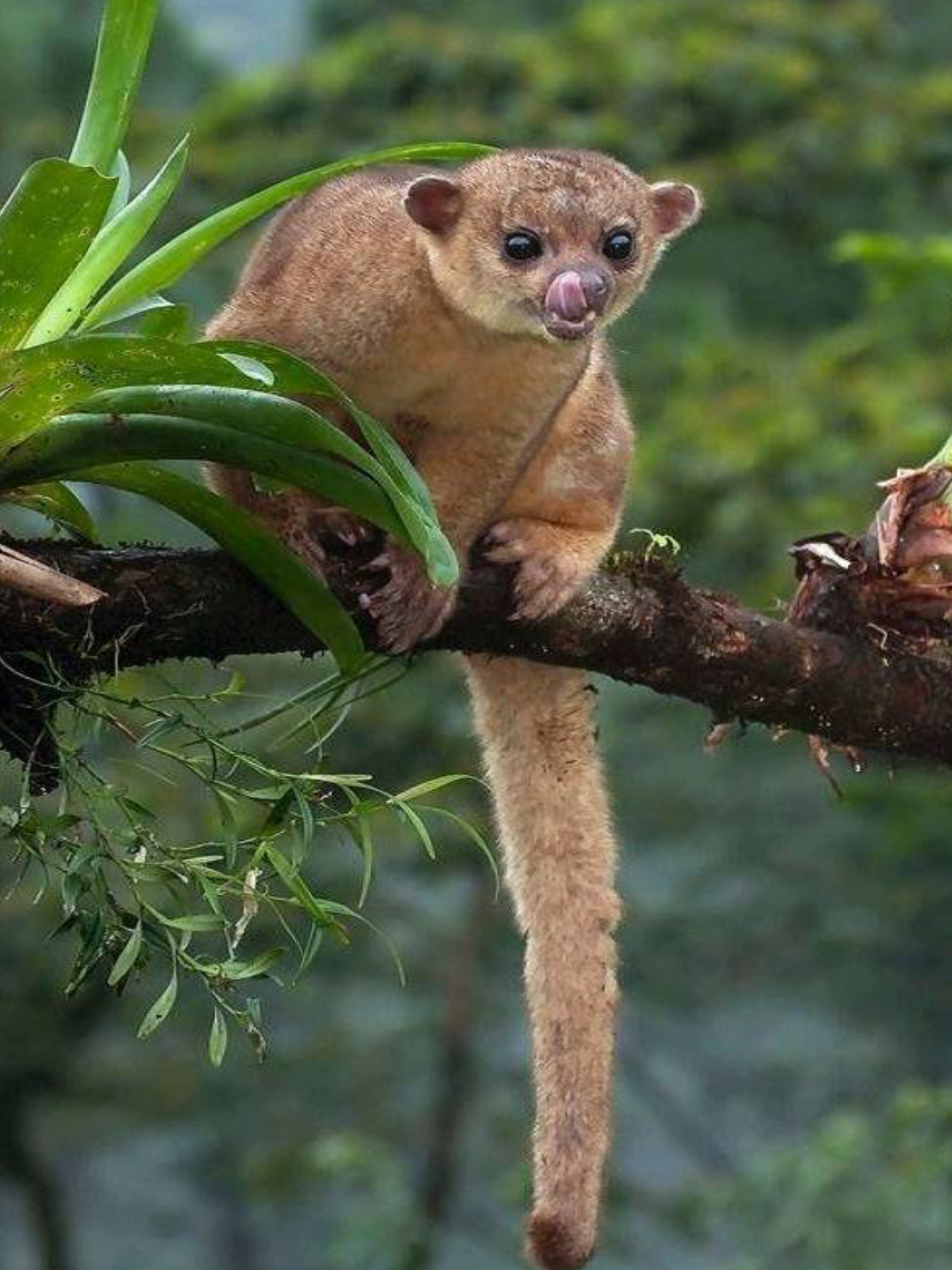 The Kinkajou Also Known As The Honey Bear A Name It