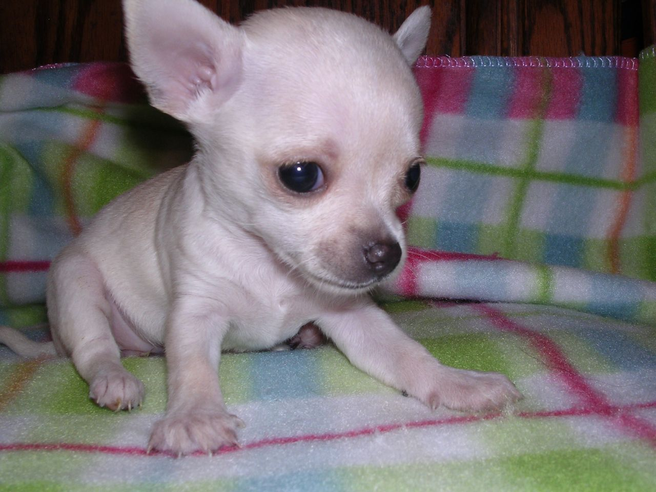 White Chihuahua Puppies Pedigree Small White Chihuahua