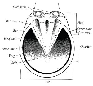 Diagram of the parts of the equine hoof, showing heel