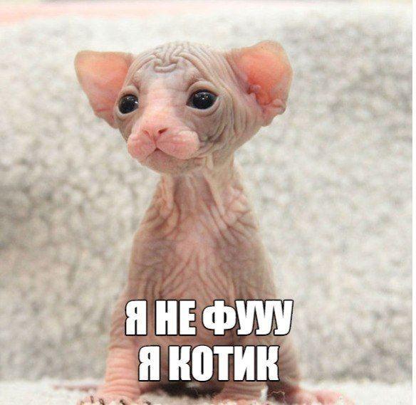 Канадський сфінкс. Я не Фу, я котик) | Гумор | Pinterest ...