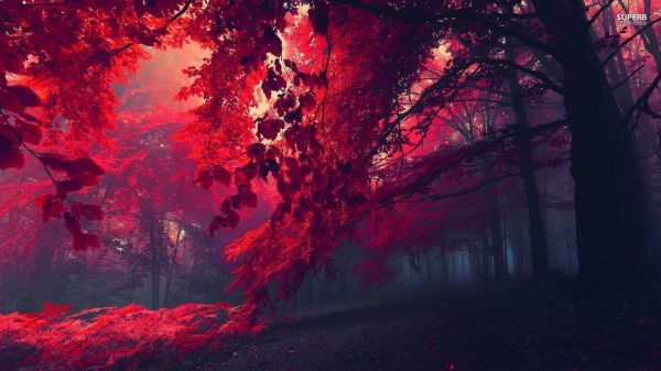 Crimson Forest | Red forest wallpaper 1920x1080 ...